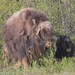 Muskox - Photo (c) Jake Mohlmann, all rights reserved