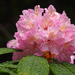 Rhododendrons and Azaleas - Photo (c) Wendy Feltham, all rights reserved