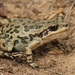 Spotted Chorus Frog - Photo (c) mattbuckingham, all rights reserved