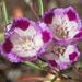 Clarkia williamsonii - Photo (c) Damon Tighe, todos los derechos reservados