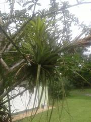 Tillandsia fasciculata image