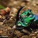 Escarabajos Arcoiris - Photo (c) Barbara Moreno Martinez, todos los derechos reservados