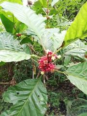 Pentagonia macrophylla image