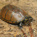 Mississippi Mud Turtle - Photo (c) mattbuckingham, all rights reserved