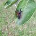 Apiomerus amazonus - Photo (c) edwintriana, όλα τα δικαιώματα διατηρούνται