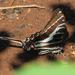 Mariposa Cometa Golondrina Negra - Photo (c) Alfredo Dorantes Euan, todos los derechos reservados