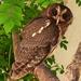 Mottled Owl - Photo (c) Josefa Gonzalez, all rights reserved