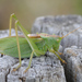 Upland Green Bush-Cricket - Photo (c) Giacomo Gola, all rights reserved