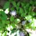 Flor de San Juan - Photo (c) Alfredo Dorantes Euan, todos los derechos reservados