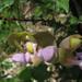 Sigmoidotropis elegans - Photo (c) Alfredo Dorantes Euan, todos los derechos reservados