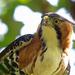 Águila Elegante - Photo (c) Nigel Voaden, todos los derechos reservados