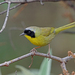 Hooded Yellowthroat - Photo (c) Nigel Voaden, all rights reserved