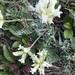 Oxytropis evenorum - Photo (c) rostsh, all rights reserved