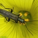 False Blister Beetles - Photo (c) Valter Jacinto, all rights reserved