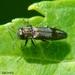 Agrilus derasofasciatus - Photo (c) Valter Jacinto, todos los derechos reservados