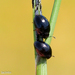 Shining Flower Beetles - Photo (c) Valter Jacinto, all rights reserved