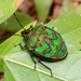 Jewel Bugs - Photo (c) WonGun Kim, all rights reserved