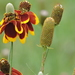 Upright Prairie Coneflower - Photo (c) Deborah, all rights reserved