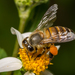 Asian Honey Bee - Photo (c) kkchome, all rights reserved
