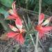 Alstroemeria caryophyllacea - Photo (c) docinholele, todos los derechos reservados