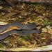 Achalinus niger - Photo (c) Po-Wei Chi, todos los derechos reservados