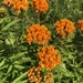 Butterfly Milkweed - Photo (c) Aidan Place, all rights reserved