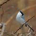 White-lored Gnatcatcher - Photo (c) Nigel Voaden, all rights reserved
