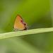 Heliophorus ila matsumurae - Photo (c) Mauro Paschetta, all rights reserved
