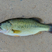 Largemouth Bass - Photo (c) Valter Jacinto, all rights reserved