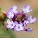 Vervain - Photo (c) Valter Jacinto, all rights reserved