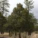 Juniperus durangensis - Photo (c) quirino, all rights reserved
