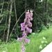 Aconitum septentrionale - Photo (c) maries lektioner, todos los derechos reservados