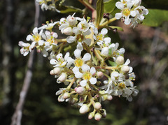 Image of Escallonia paniculata