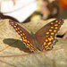 Oxeoschistus hilara - Photo (c) Nigel Voaden, όλα τα δικαιώματα διατηρούνται