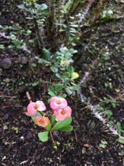 Euphorbia milii image