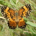 Gorgone Checkerspot - Photo (c) Michael Tobler, all rights reserved