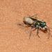 Coral Pink Sand Dune Tiger Beetle - Photo (c) Prakrit, all rights reserved