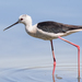 Black-winged Stilt - Photo (c) Paolo, all rights reserved