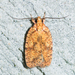 Four-dotted Agonopterix Moth - Photo (c) treichard, all rights reserved, uploaded by Timothy Reichard