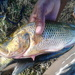 Thinface Cichlid - Photo (c) Tshepi Botumile, all rights reserved
