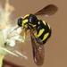 Acroceridae - Photo (c) Valter Jacinto, כל הזכויות שמורות