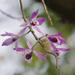 Orquídeas Asiáticas de Tallo Suave - Photo (c) kristian, todos los derechos reservados