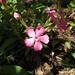 Silene caroliniana pensylvanica - Photo (c) kenchaya, all rights reserved