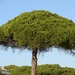 Stone Pine - Photo (c) Valter Jacinto, all rights reserved