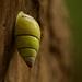 Amphidromus poecilochrous - Photo (c) 黄秦, todos los derechos reservados