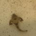 Agonidae - Photo (c) huangt3, כל הזכויות שמורות