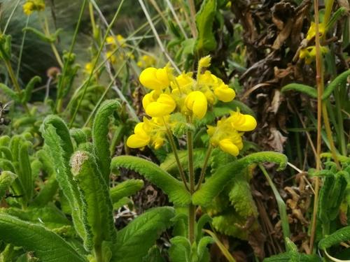 Calceolariaceae image