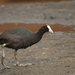 Red-knobbed Coot - Photo (c) Johnny Wilson, all rights reserved
