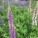 Lupinus polyphyllus - Photo (c) katroma, todos os direitos reservados