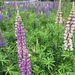 Large-leaved Lupine - Photo (c) katroma, all rights reserved